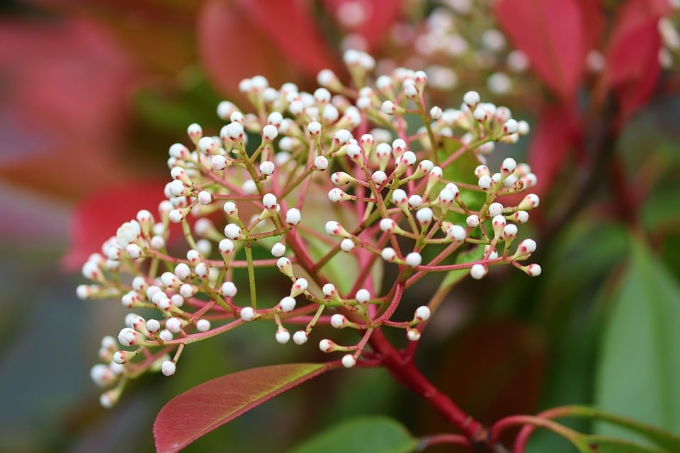 comment tailler un photinia red robin