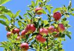 Acheter arbre fruitier qualité