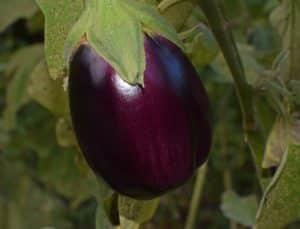 Quand et comment planter les aubergines ?
